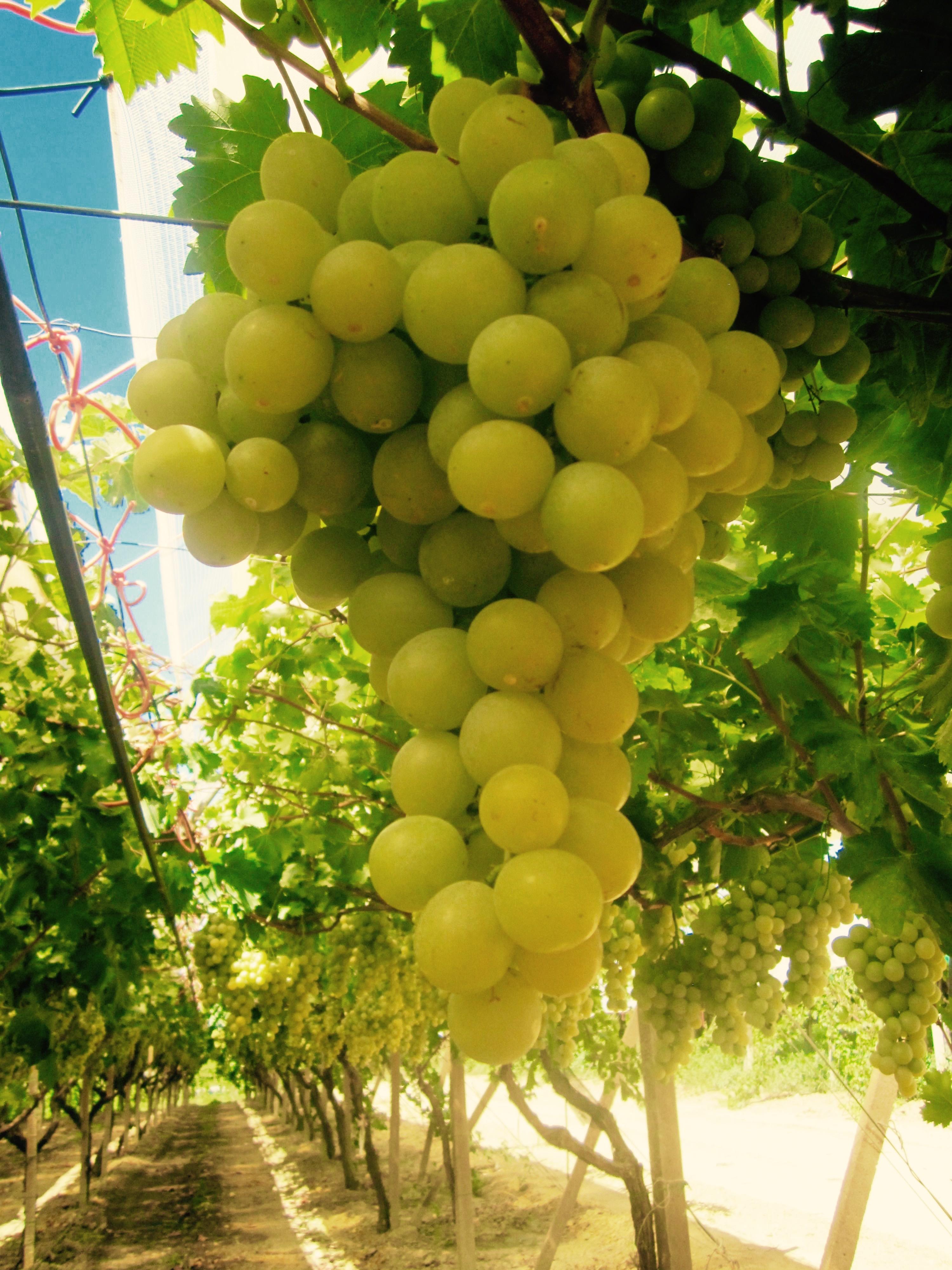 """Uva bianca """"Sugraone"""" – Valore Sicilia"""